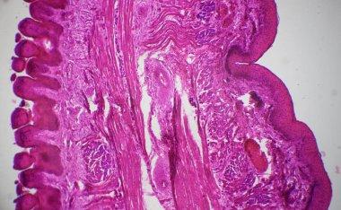 Tongue longitudinal section under the microscope