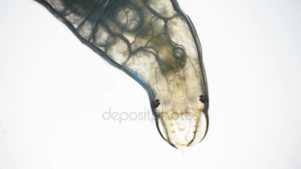 Vodní larvy hmyzu v mikroskopu