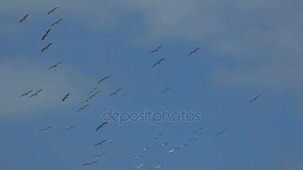 Hejno velké bílých pelikánů v letu