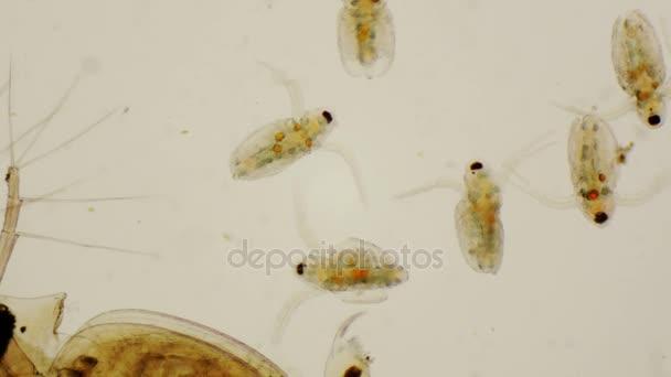 Daphnia juveniles or common water fleas under the microscope in 4k