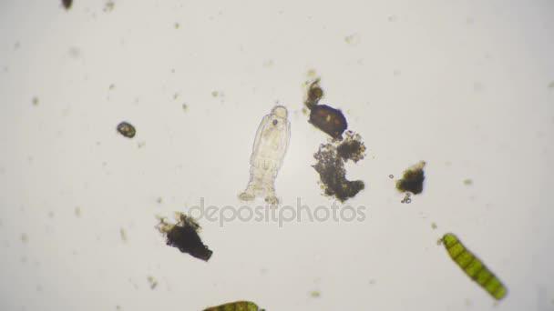 Video von einer bdelloid rädertierchen unter dem mikroskop