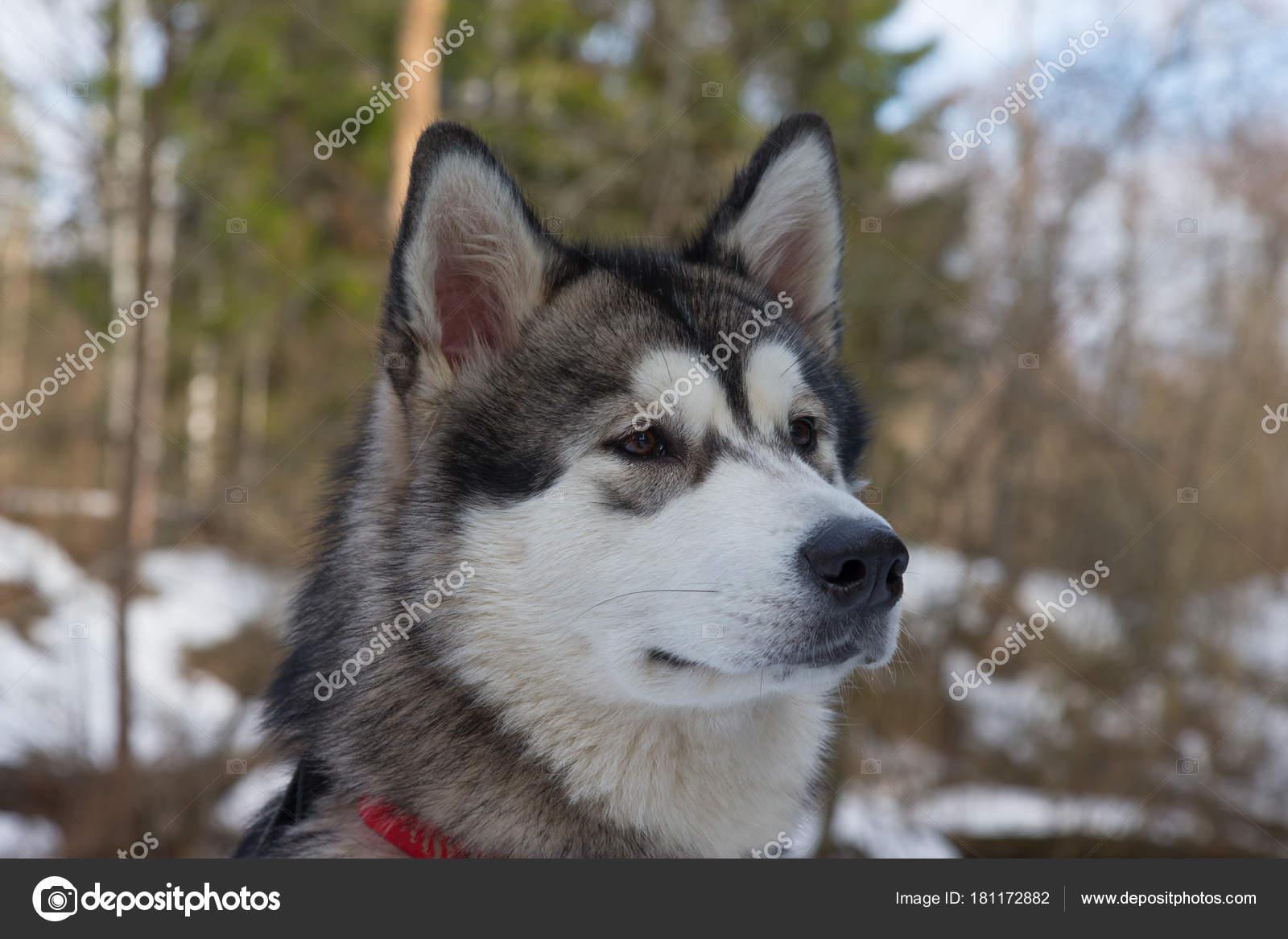 Psí plemeno Aljašský malamut v zasněženém lese — Stock Fotografie ... f5a333b2f7