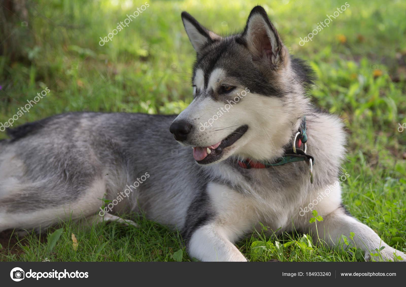 Psí plemeno Aljašský malamut v zahradě. Malá hloubka ostrosti– stock obrázky b4ab31195f