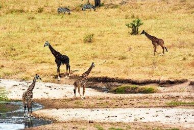 Twin giraffes in Tanzania Serengetti park with yellow grass and sunset