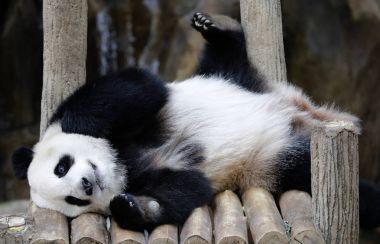 Nuan Nuan (means warmth), the first Malaysian-born Panda cub lying down on the wooden bench at Panda Conservation Centre in Kuala Lumpur, July 24, 2017.