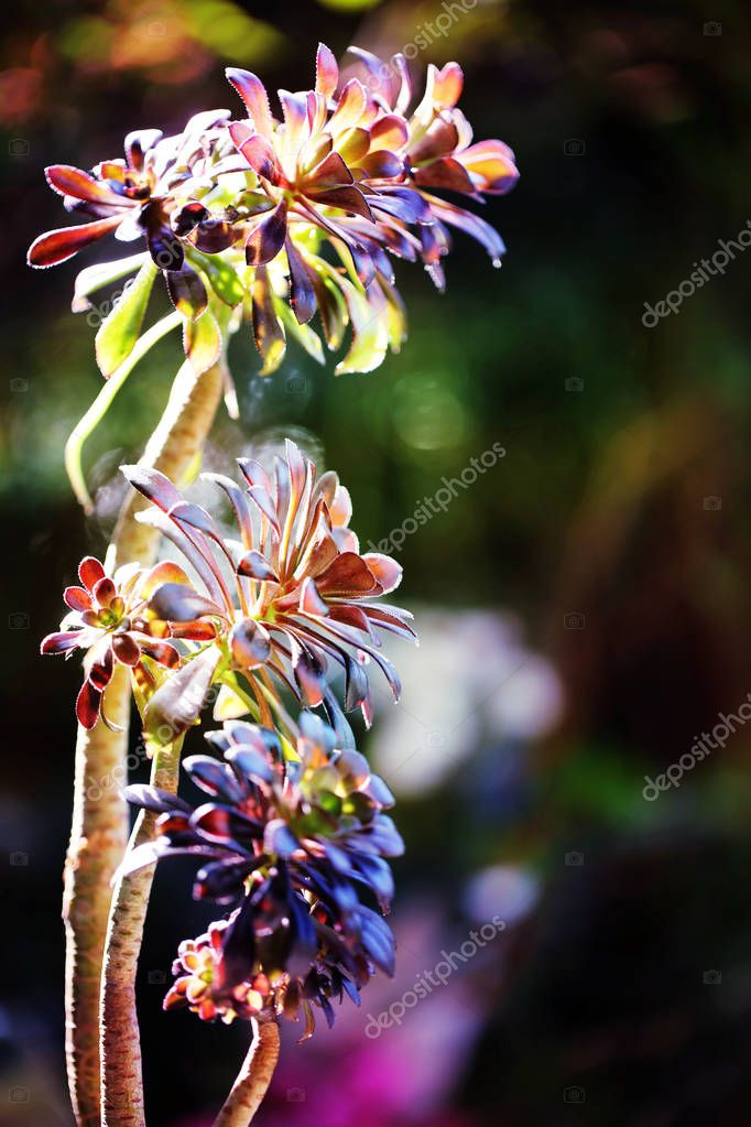 Beautiful colorful Aeonium isolated on black background in spring.