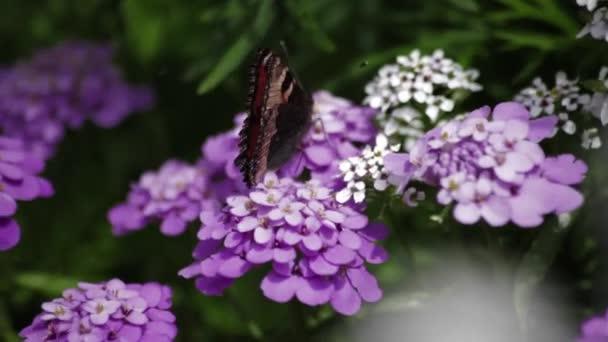 Motýl sedí na květinu purpure.