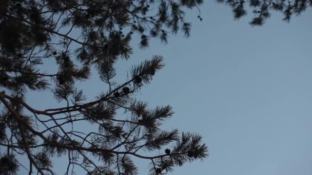 Borovice, jedle proti modrou oblohu a bílé mraky