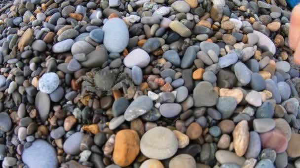 Malý krab běhá po oblázkové pláži, aby viděl vodu. Ženský prst. Zobrazení kamery akcí.