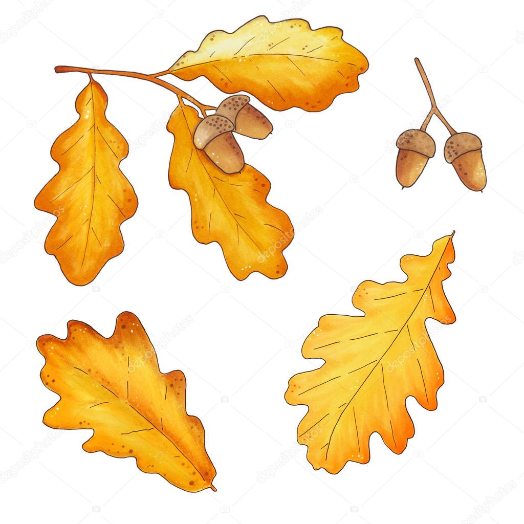 Set of autumn oak leaves and acorns isolated on white background