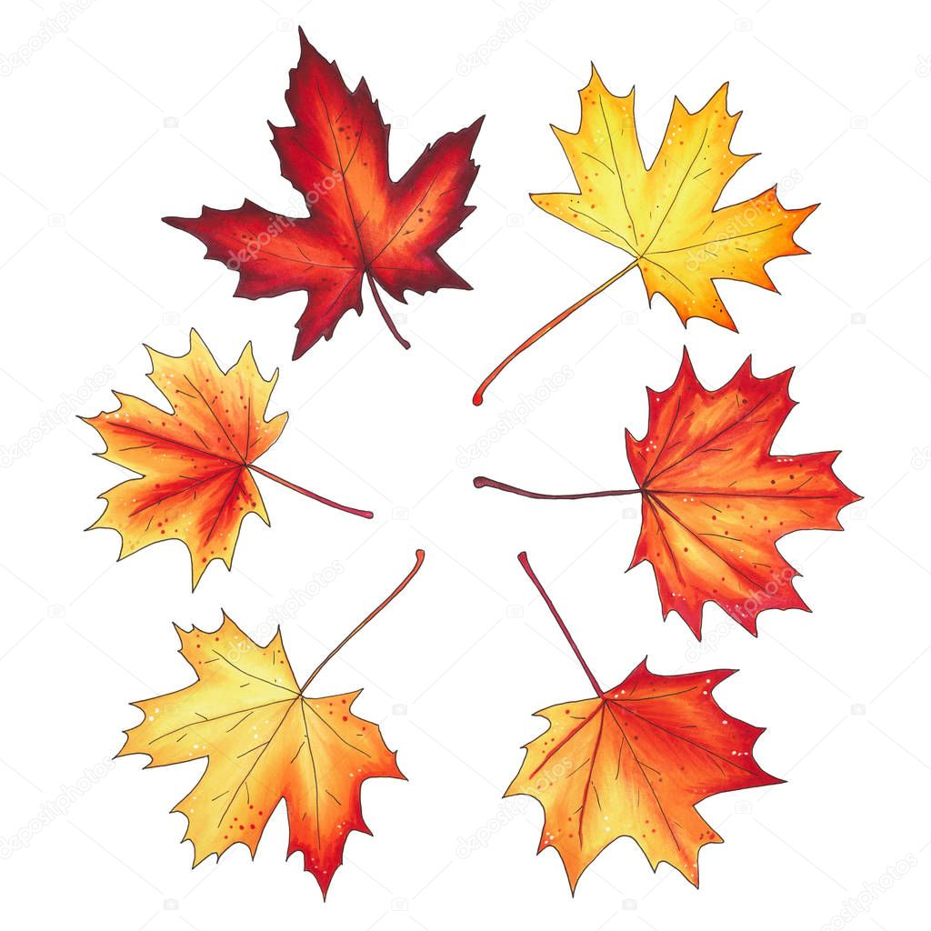 Set of autumn maple leaves isolated on white background.