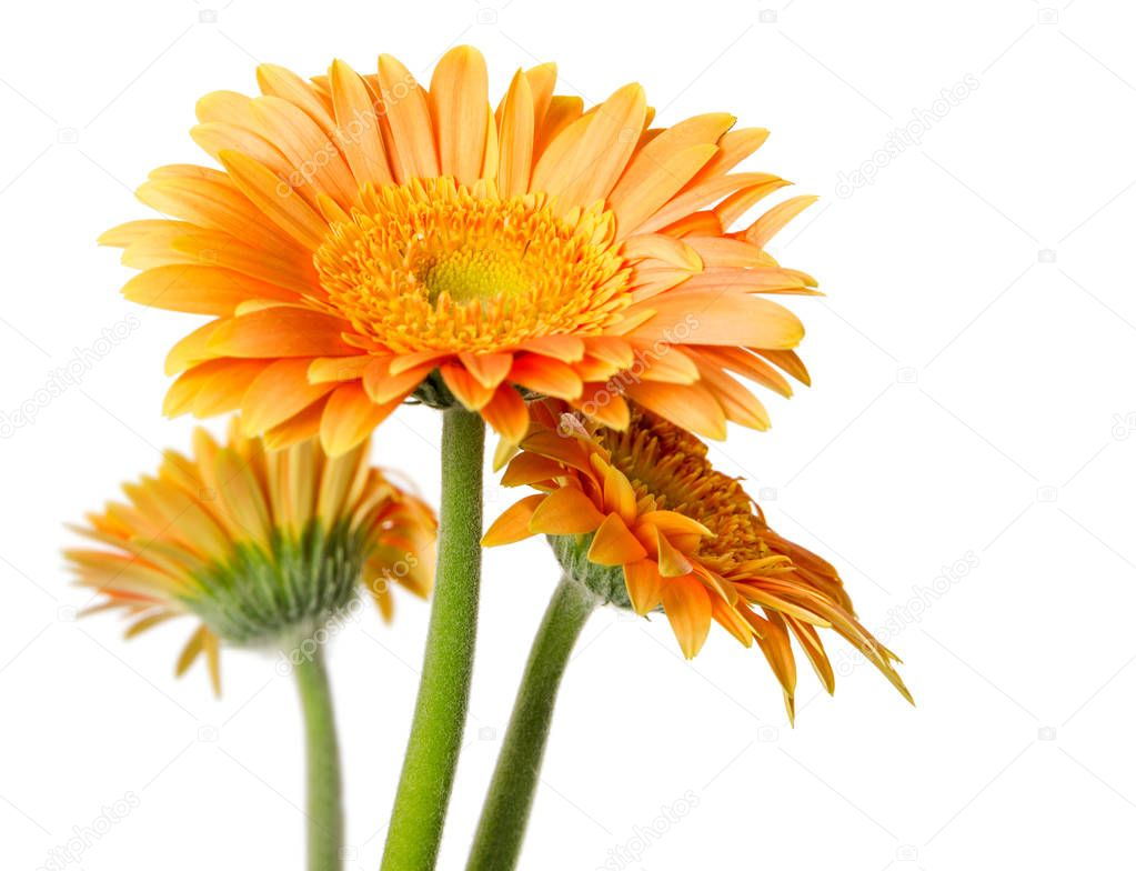 Yellow gerbera flowers isolated on white background.
