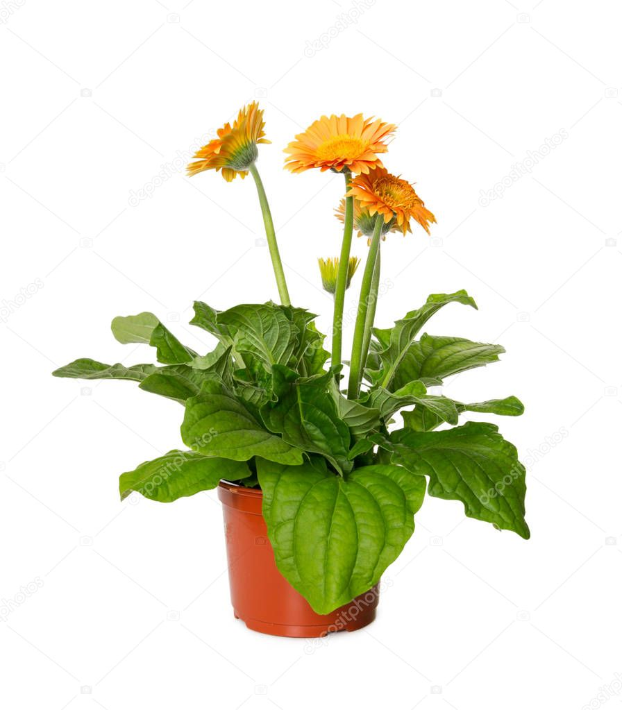 Yellow gerbera flower in flowerpot isolated on white background.