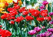 Piros tulipán mező szelektív fókusszal. Tavasz, virágos háttér. Virágos kert. Természetes virágzás.