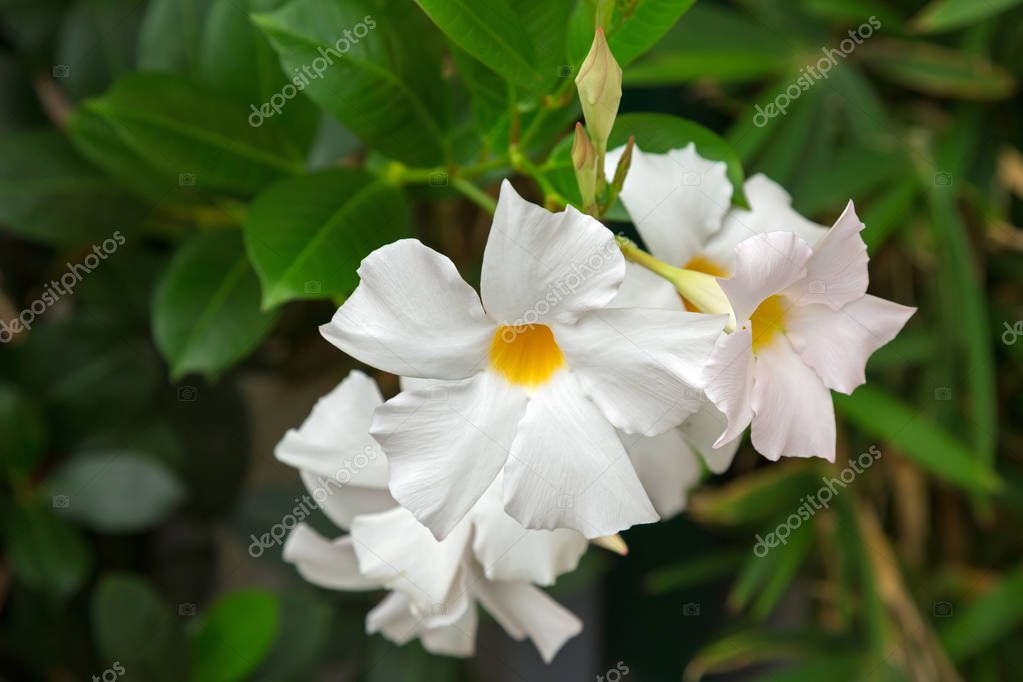 Mandevilla Rocktrumpet Flowers With White Petals And Yellow Center