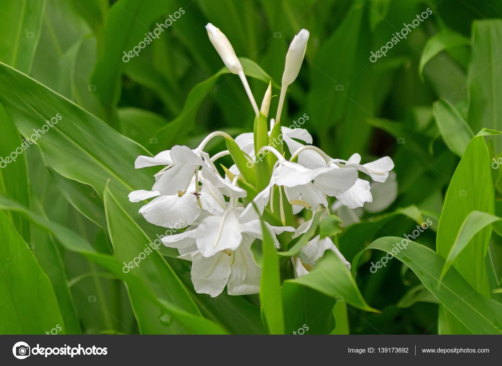 White Garland Lily White Ginger Lily Flower Hedychium Coronarium