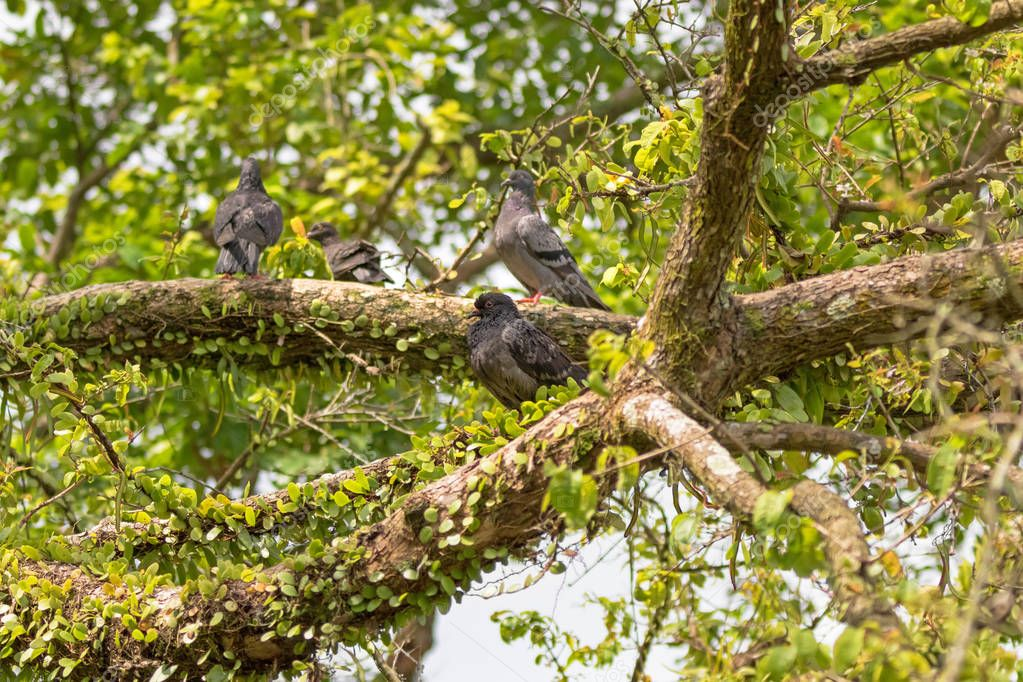Gang of Pigeon, Rock Dove birds grouping on tree branch in Singapore