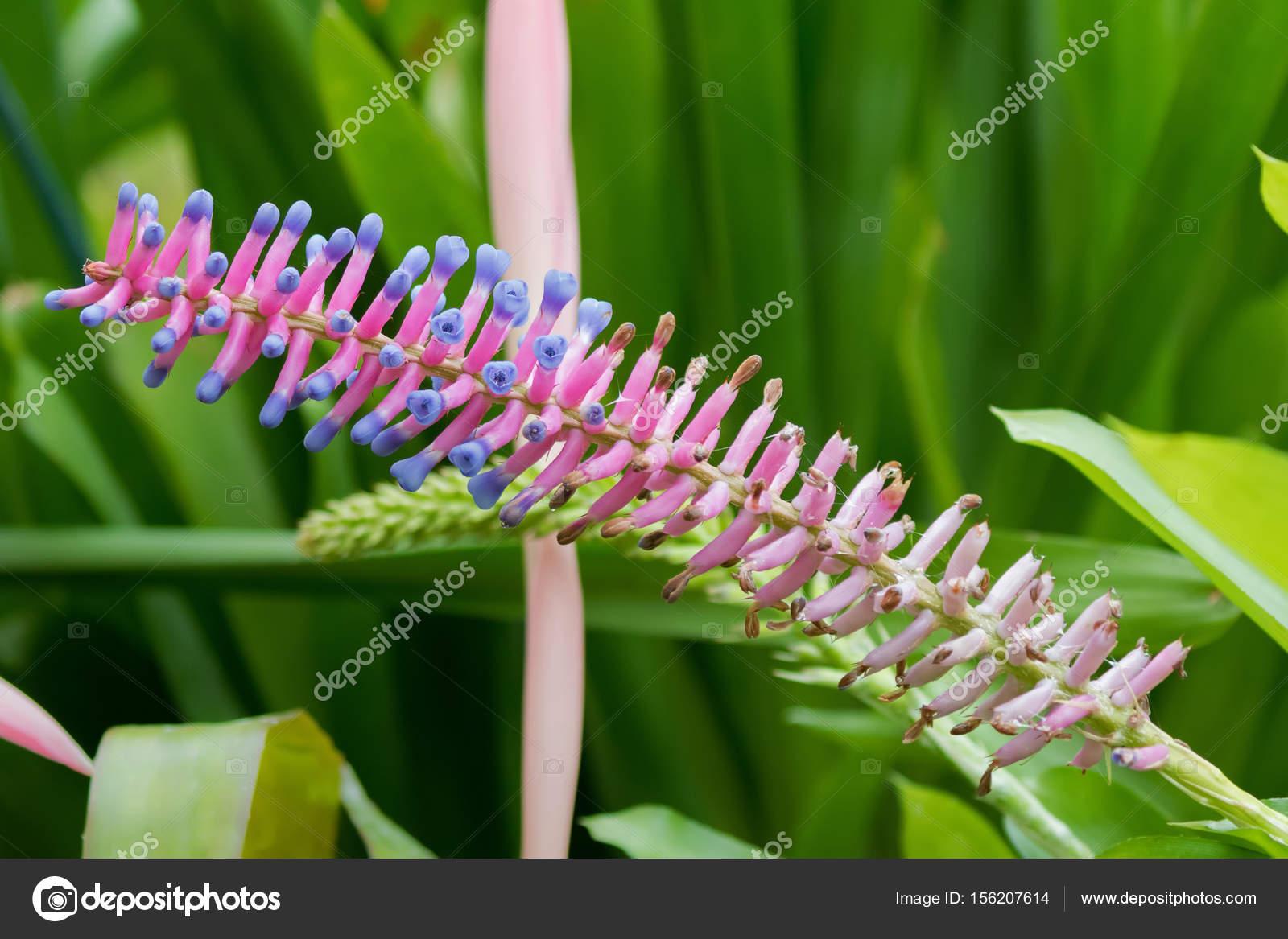 Closeup Of Aechmea Gamosepala Bromeliad Flower In Pink Purple