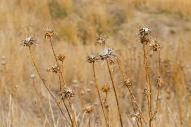 Dried Thistle prickly flower heads growing in meadow during Autumn, Tasmania