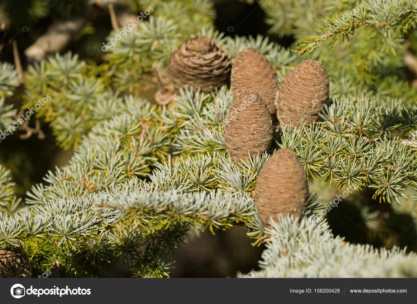 Coni del pino grande di cedro del libano albero di for Gli alberi sempreverdi