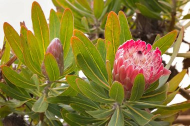 Protea flower head in red pink bract with white hairy feathery flower, Tasmania