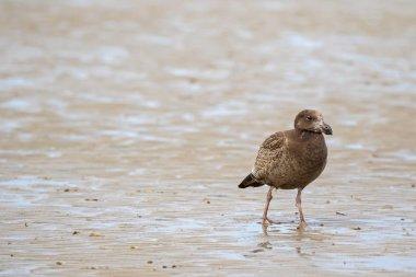 Juvenile Pacific Gull bird walking on low tide seashore looking for food, Tasmania
