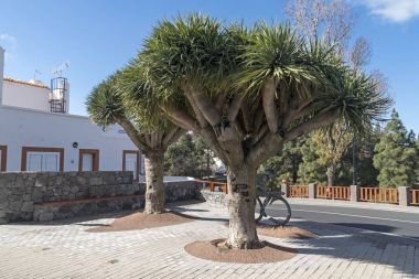 Dracaena draco ( Drago or Dragon Tree ) in Gran Canaria