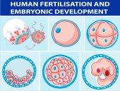 Fotografia Diagramma che mostra la fecondazione umana e sviluppo embrionale
