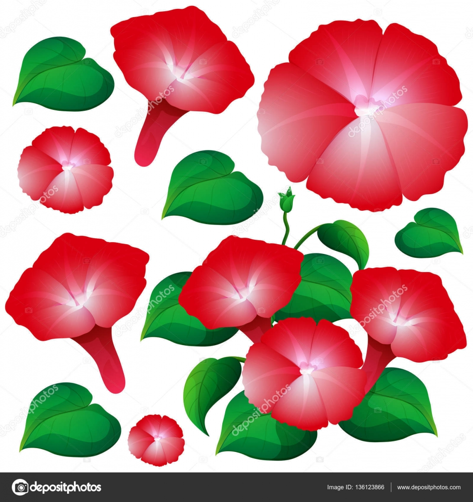 Morning glory flowers in red color — Stock Vector © interactimages ...