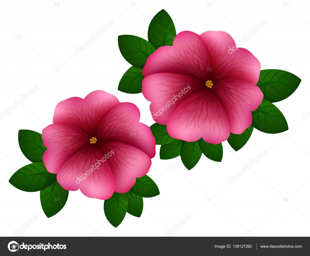 Petunia Flowers In Pink Color Stock Vector Interactimages 136127260