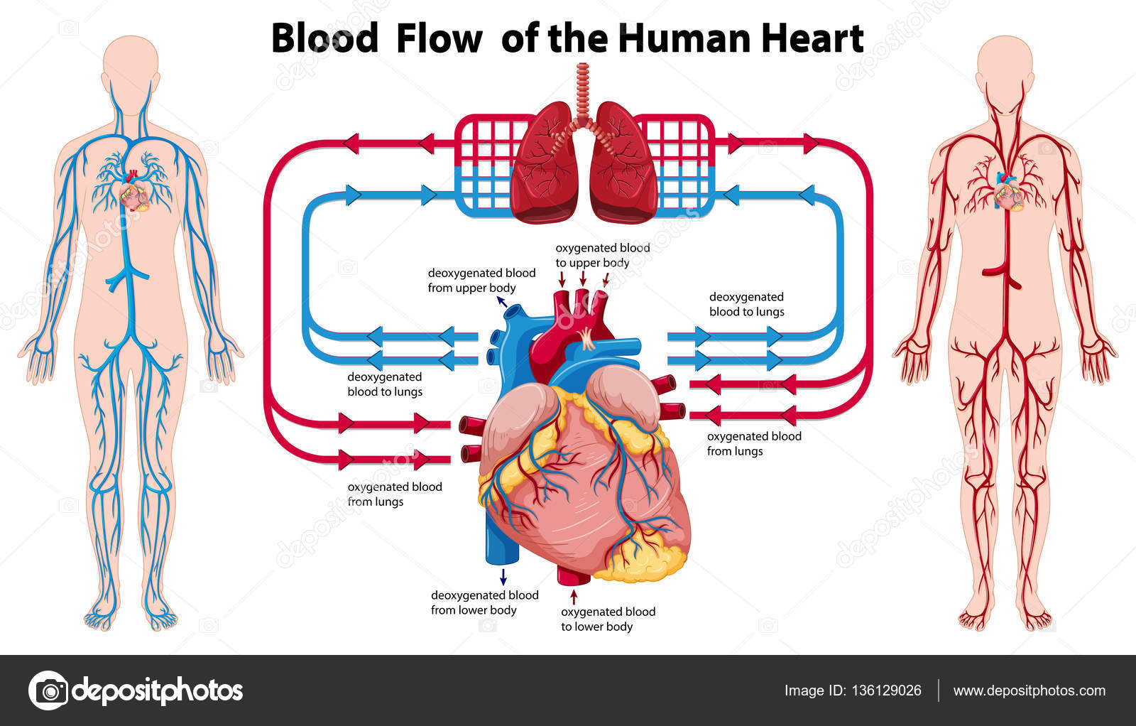 diagram showing blood flow of the human heart — stock vector, Muscles