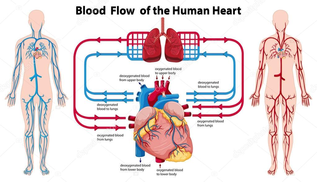 Diagram Showing Blood Flow Of The Human Heart Stock Vector