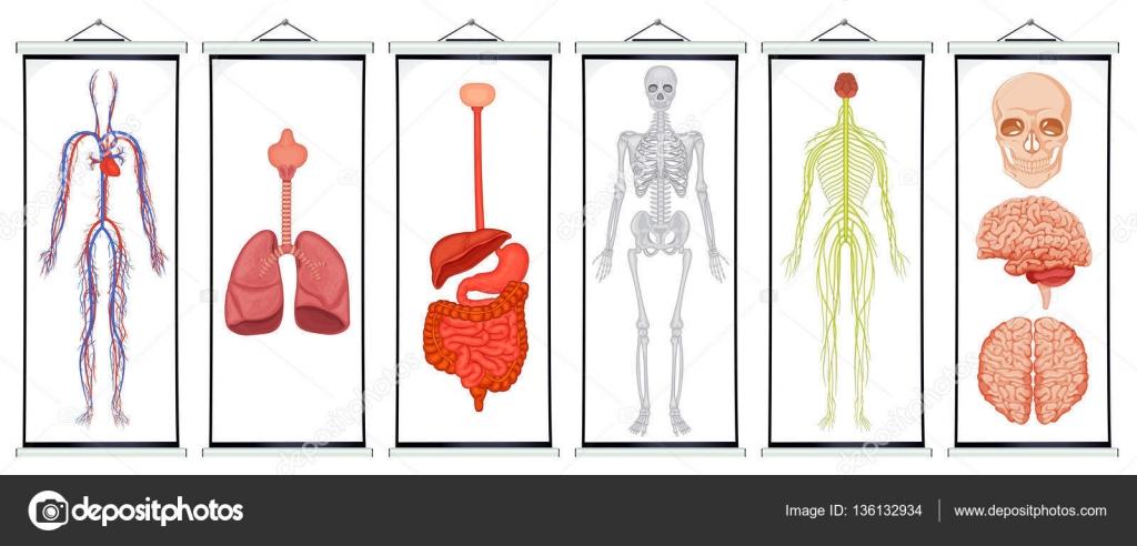 Diagramas de los sistemas humanos — Vector de stock © interactimages ...