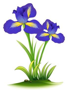 Blue iris flowers in bush