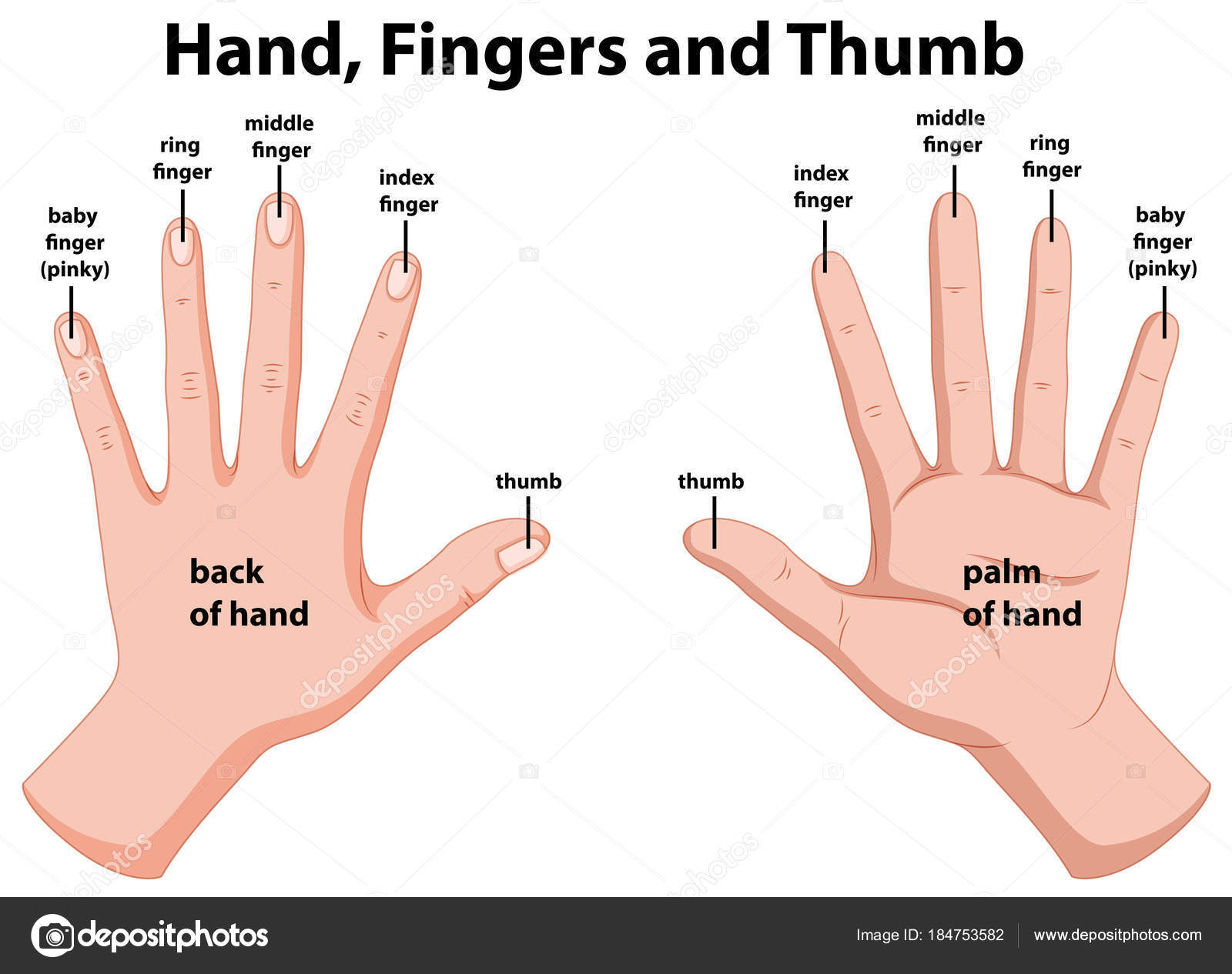 Astonishing Diagram Showing Human Hands Stock Vector C Interactimages 184753582 Wiring Database Wedabyuccorg