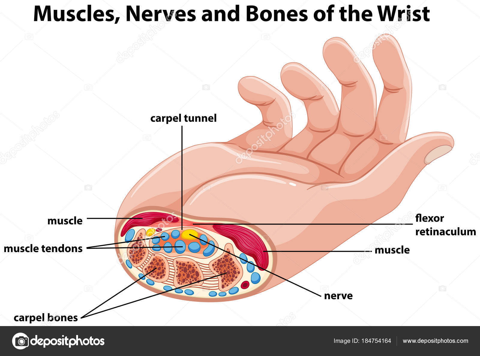 Diagram showing human hand with muscles and nerves — Stock Vector ...