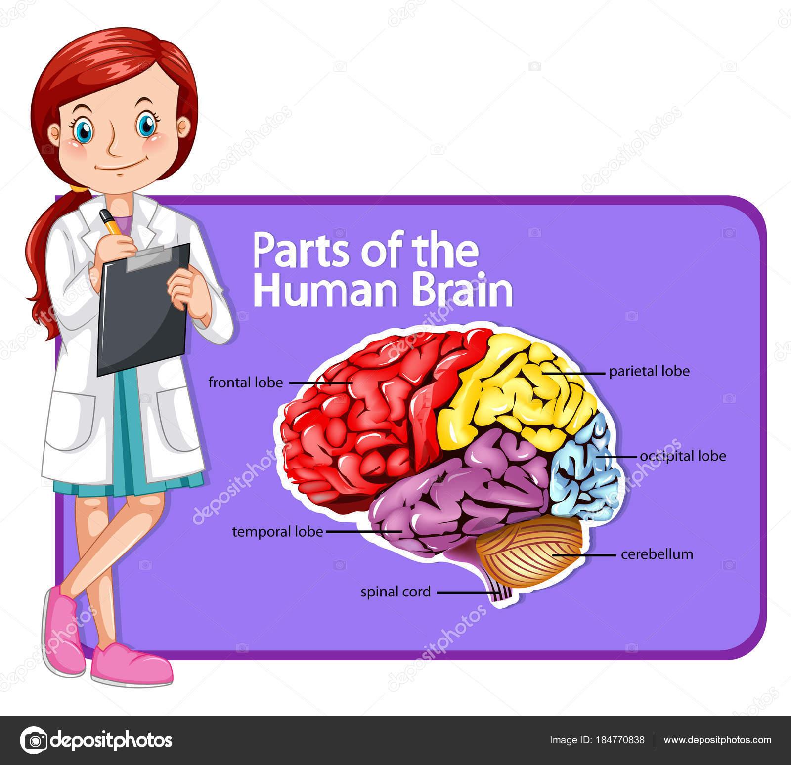 Médico y partes del cerebro humano — Vector de stock ...