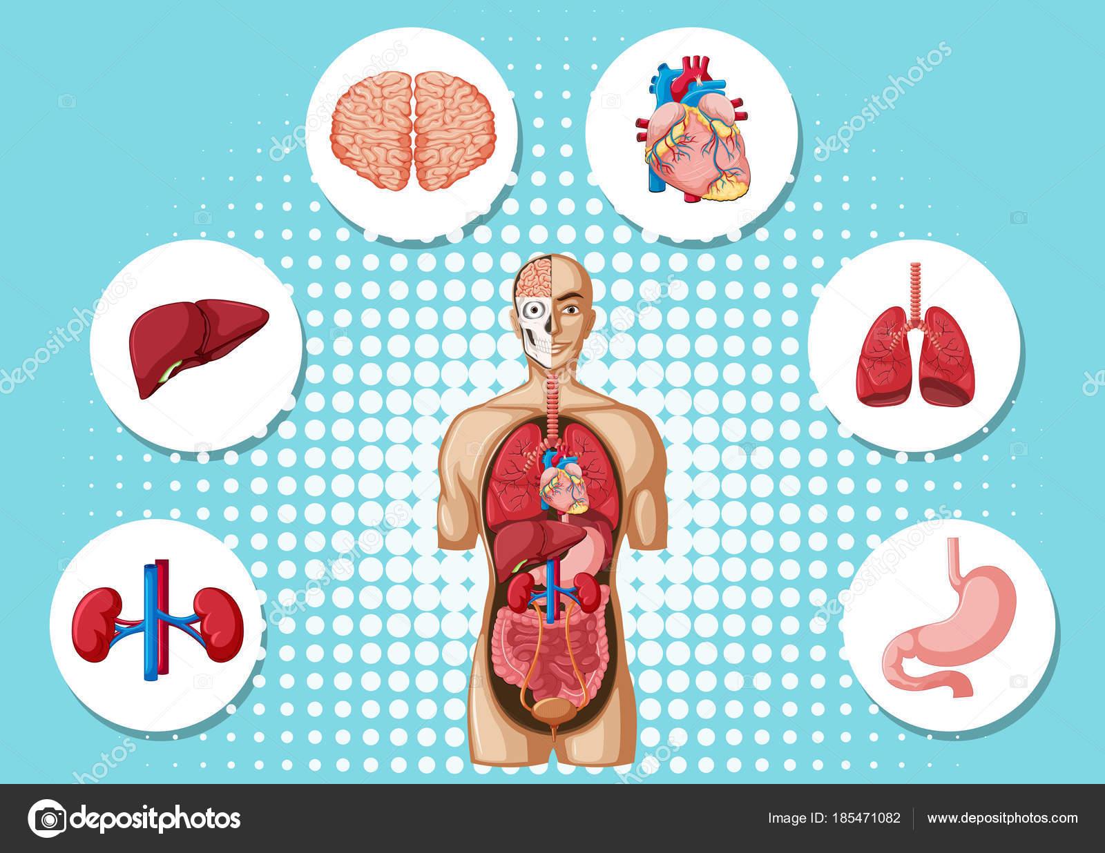Anatomía humana con diversos órganos — Vector de stock ...