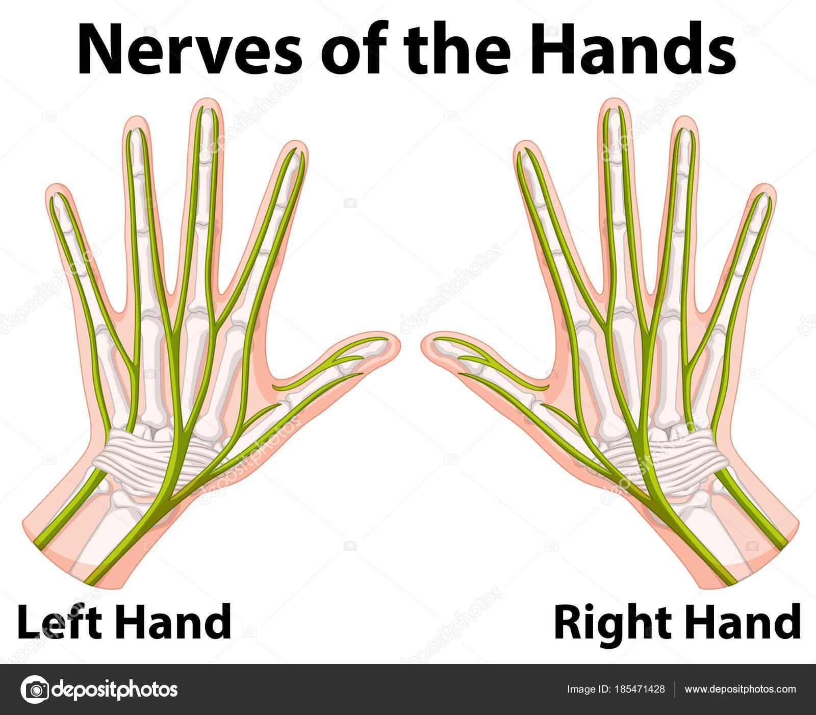 Diagrama que muestra los nervios de las manos — Vector de stock ...