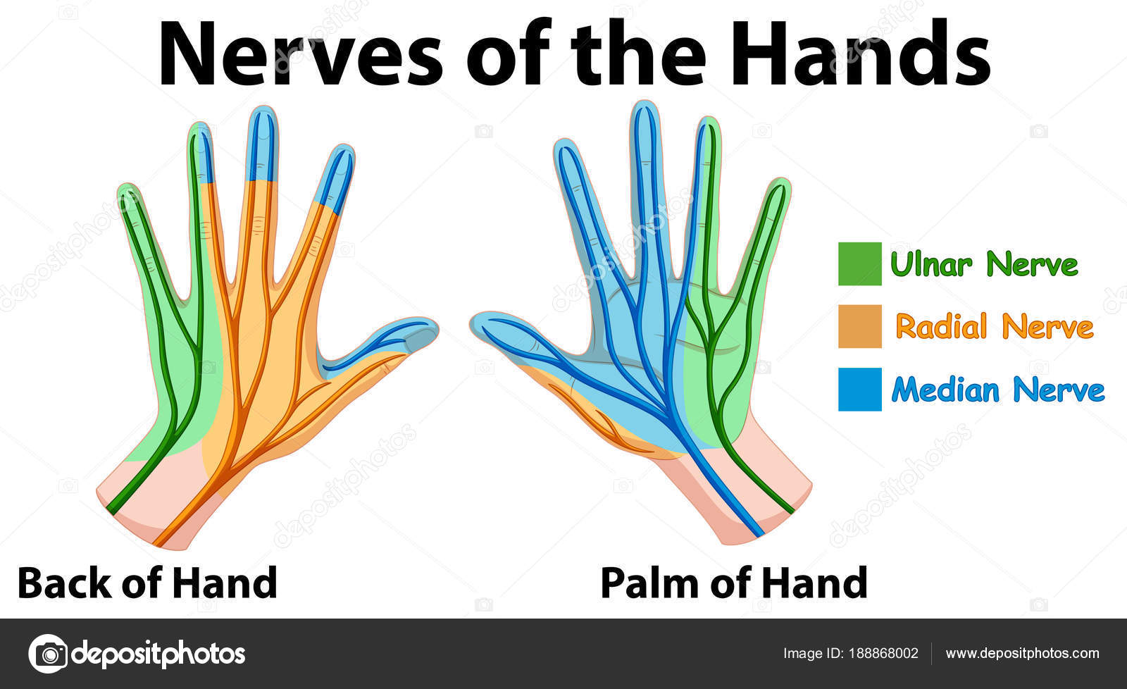 depositphotos_188868002 stock illustration diagram showing nerves of hands diagram showing nerves of hands stock vector © interactimages