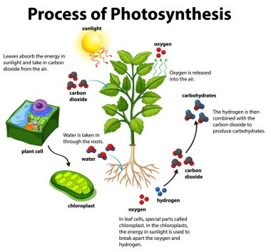 Photsynthesis Diagram – Photosynthesis is how plants manufacture their own food.