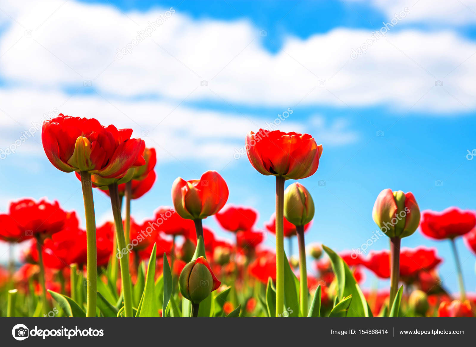 Spring Red Flowers Tulips Field Stock Photo Vitalinka 154868414