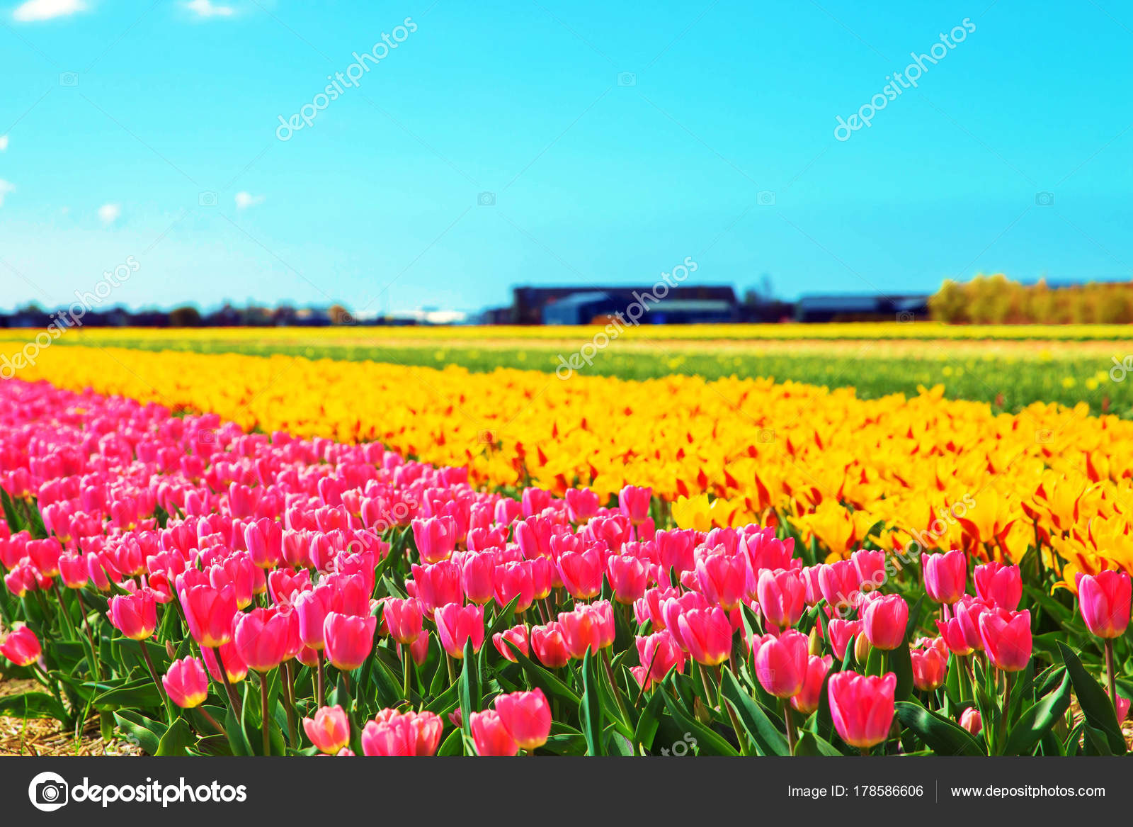 Spring flowers spring tulip field stock photo vitalinka 178586606 spring flowers spring tulip field spring floral background bright spring flowers tulips photo by vitalinka mightylinksfo Image collections