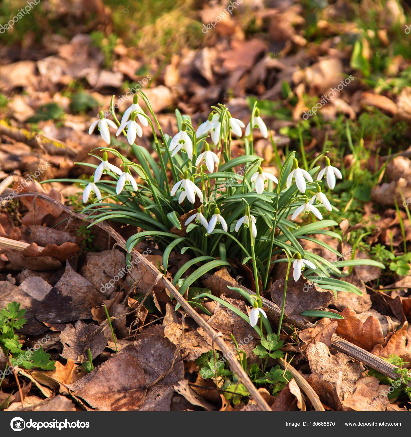 First Spring Flowers Snowdrops Spring Floral Background Stock