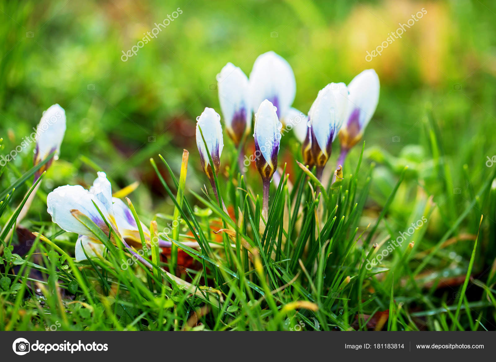 The First Spring Flowers Crocus Gentle Symbol Of Spring Stock