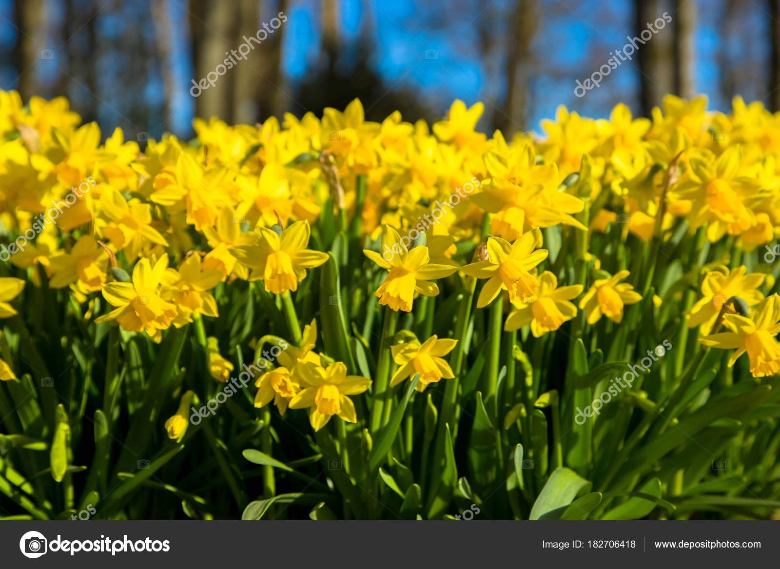 The first spring flowers yellow daffodils spring floral backgro the first spring flowers yellow daffodils yellow spring fragrant flowers daffodils and green grass spring bright floral background photo by vitalinka mightylinksfo