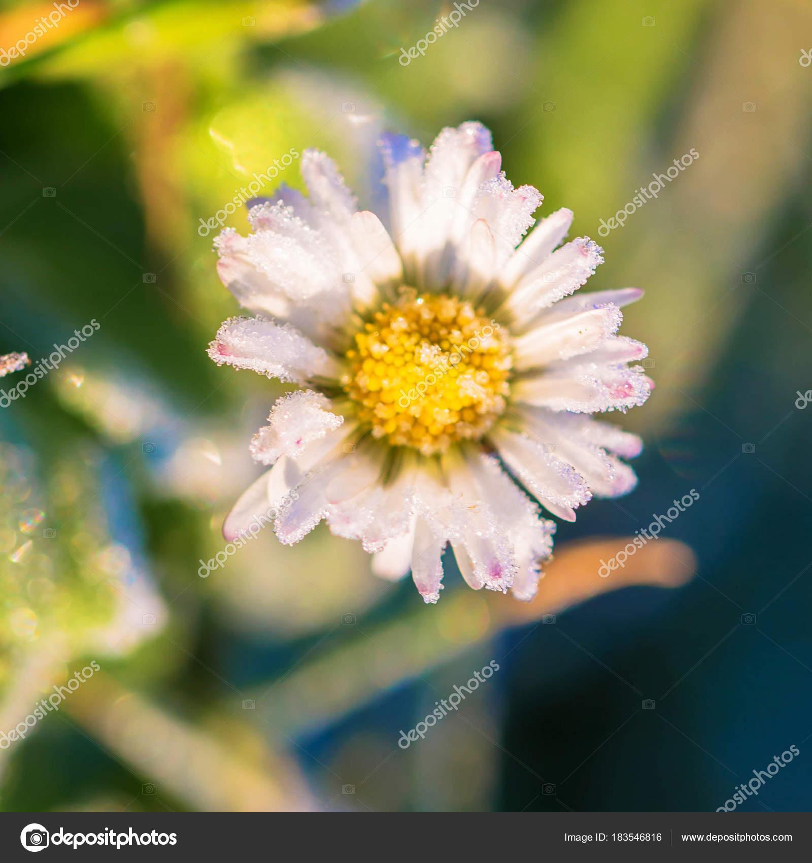 Frozen Flower Of A Daisy Close Up Stock Photo Vitalinka 183546816