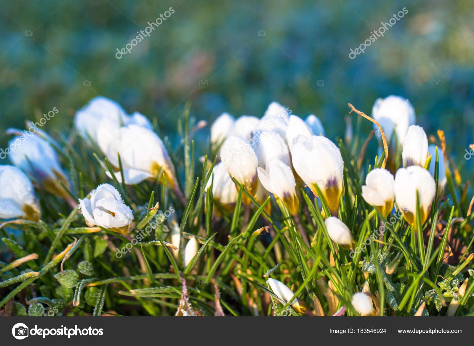 The first spring flowers white crocus stock photo vitalinka the first spring flowers white crocus stock photo mightylinksfo