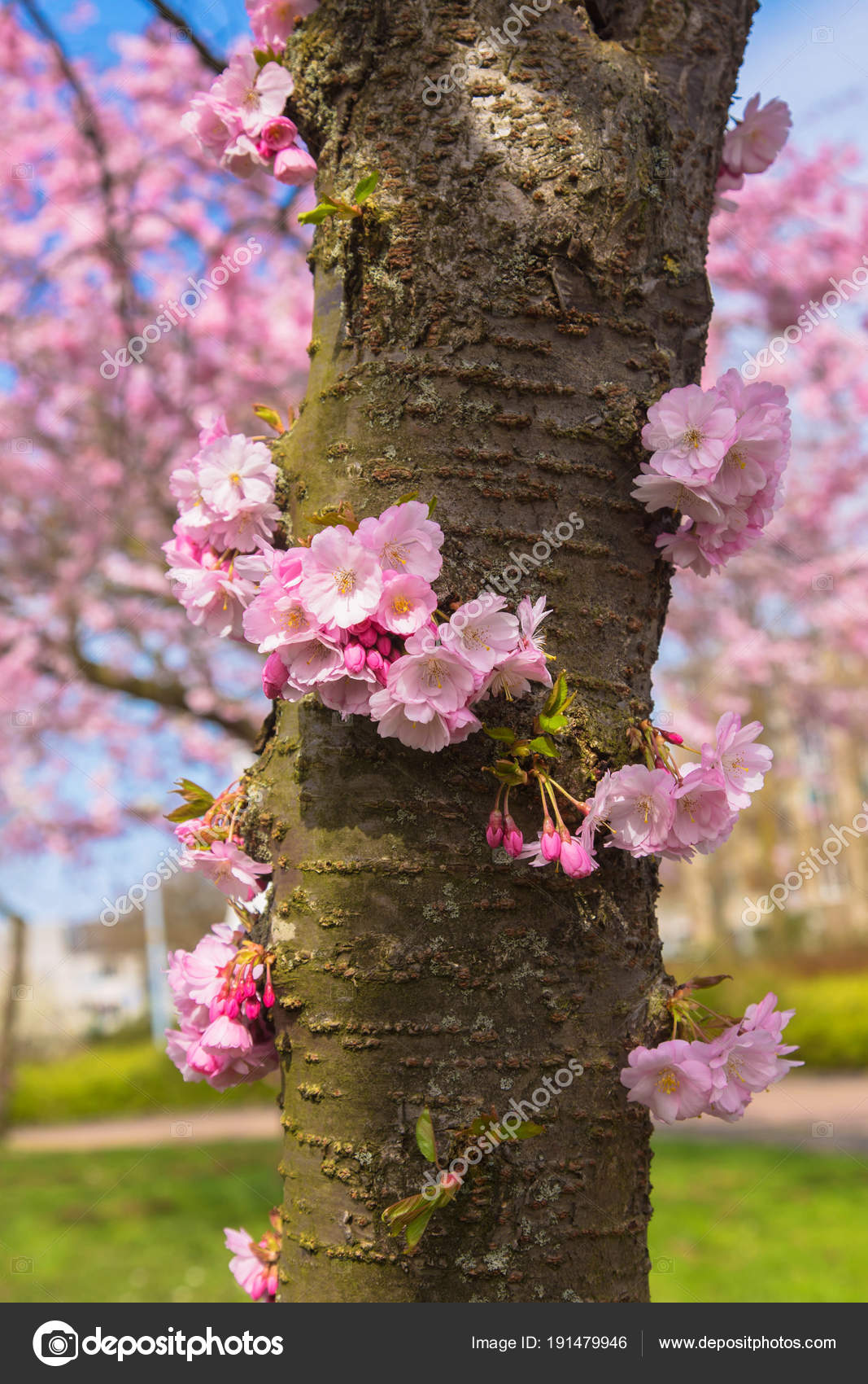 Blooming cherry tree trunk symbol of spring stock photo blooming cherry tree trunk beautiful spring pink sakura cherry flowers floral spring background many pink flowers on the trunk mightylinksfo