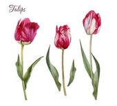 Kézzel rajzolt akvarell tulipán virágok csoportja
